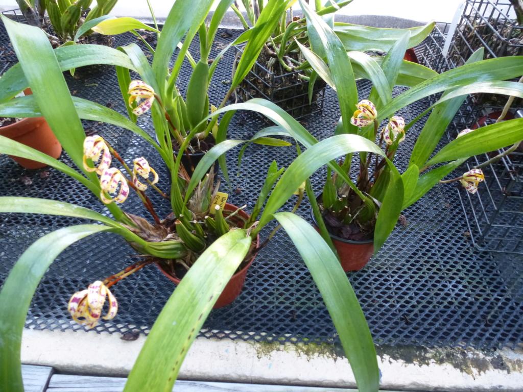 Maxillaria picta  P1290230