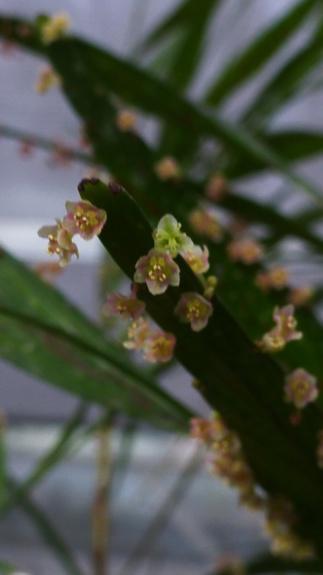 Help me c'est un  Muehlenbeckia platyclados  P1290310