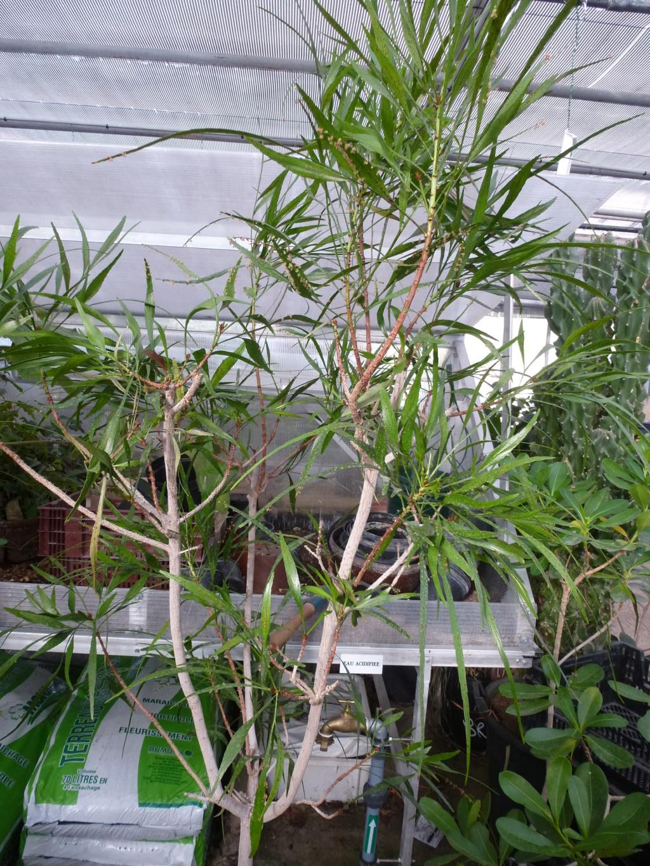 Help me c'est un  Muehlenbeckia platyclados  P1290311