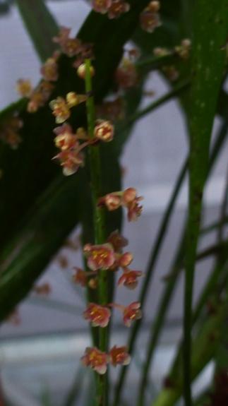 Help me c'est un  Muehlenbeckia platyclados  P1290313