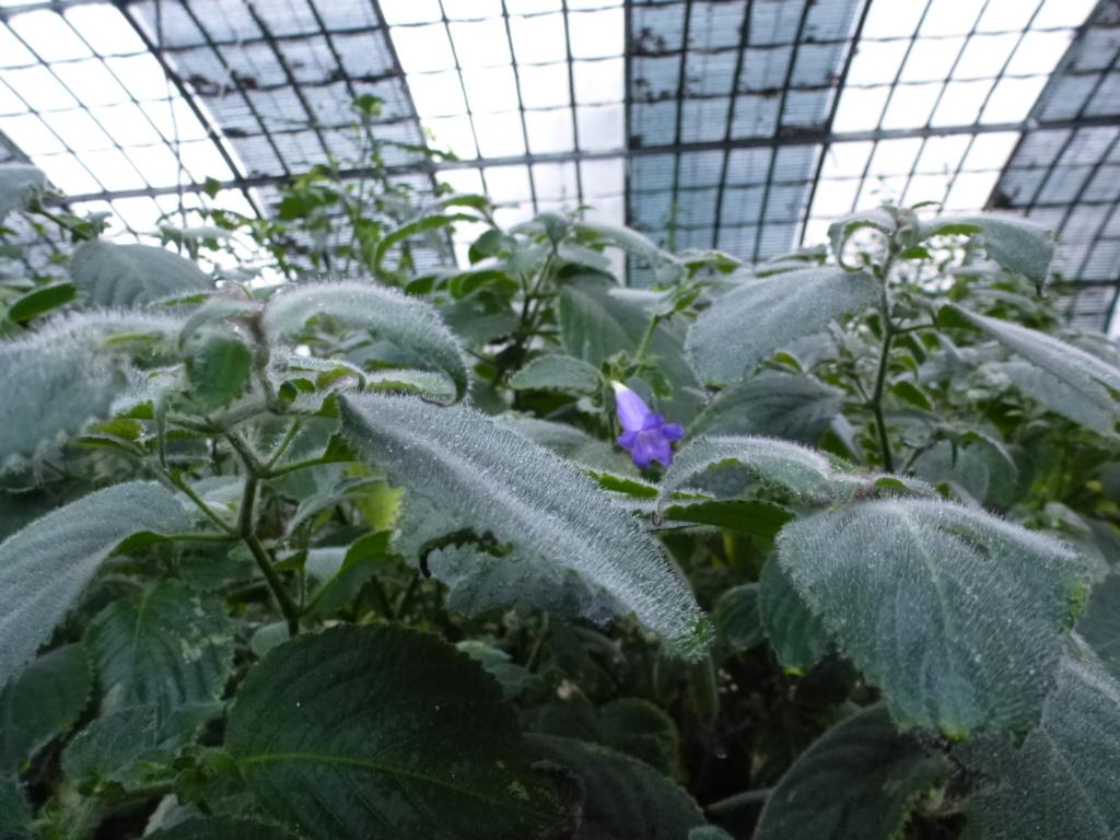 Une belle Acanthaceae : Strobilanthes glomerata  P1290414