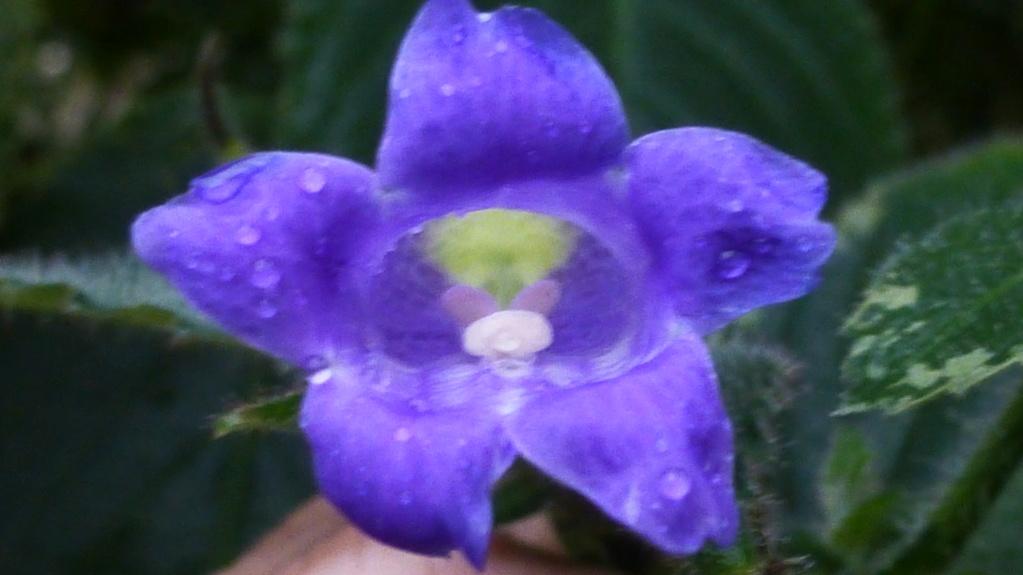 Une belle Acanthaceae : Strobilanthes glomerata  P1290416