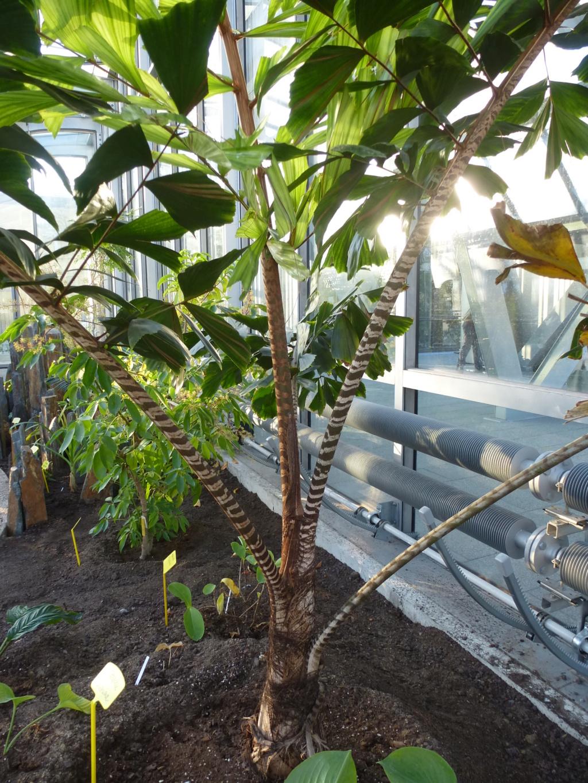 Magnifique palmier  P1290421