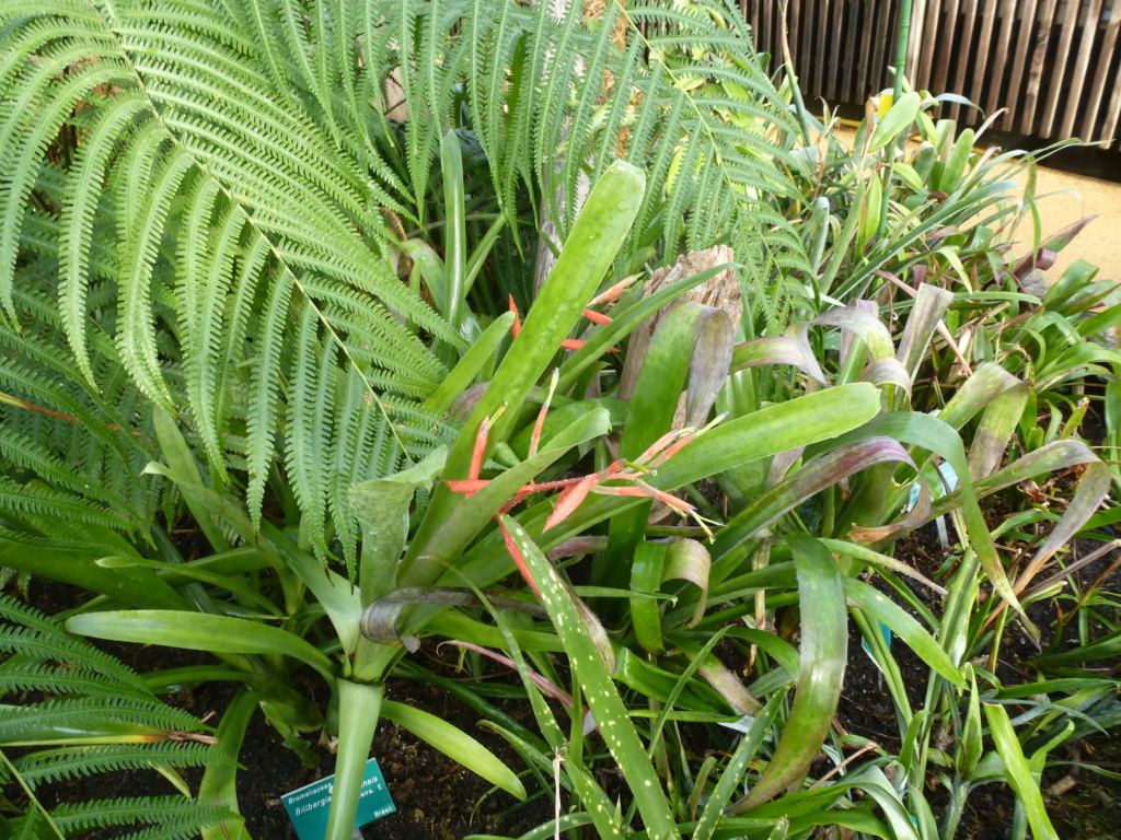 Billbergia castelensis  P1290725