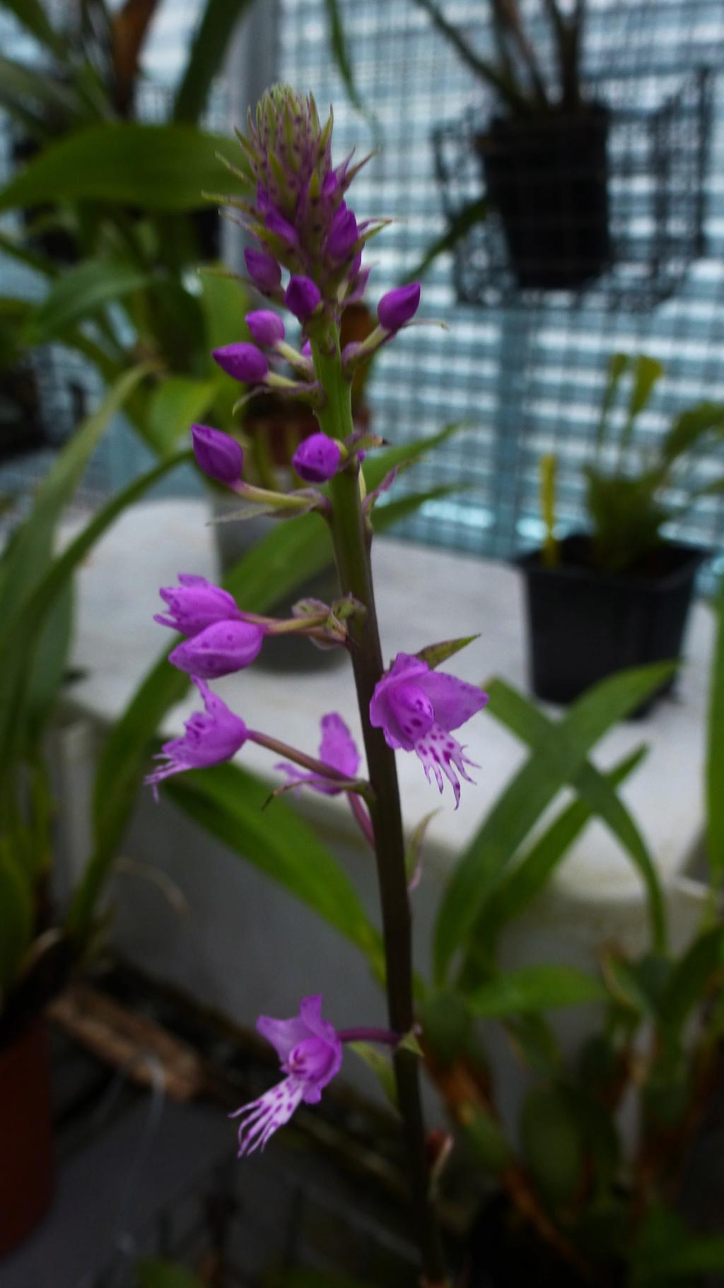 Quelques floraisons du moment  P1310011