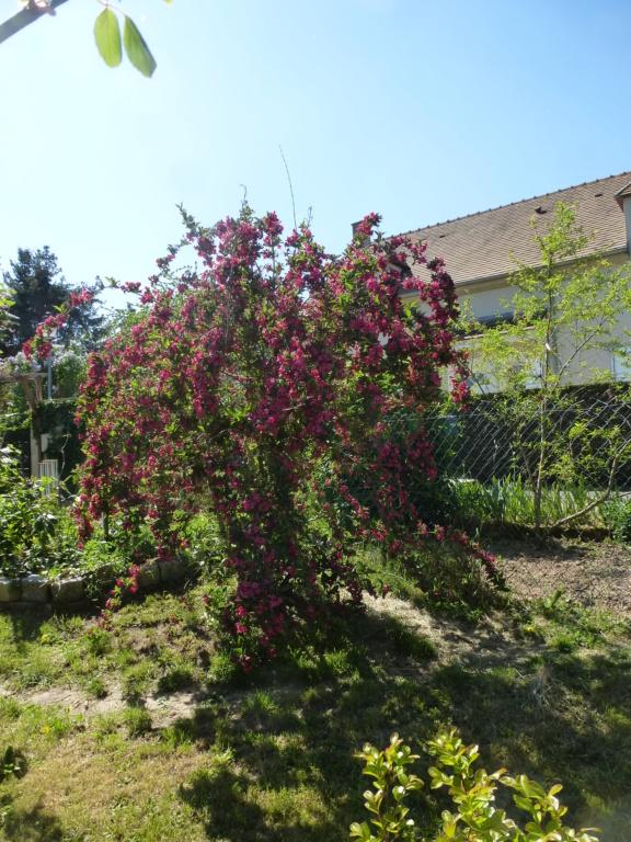 Mes plantes fidèles de mon jardin  P1310811