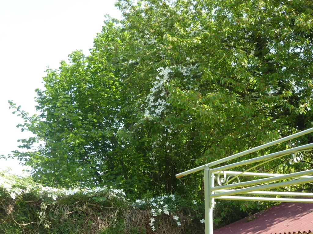 Mes plantes fidèles de mon jardin  P1310813