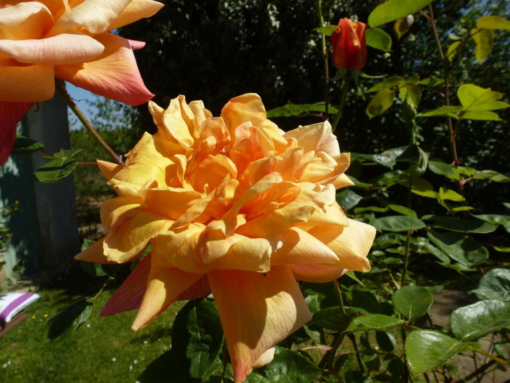 Mes plantes fidèles de mon jardin  P1310815