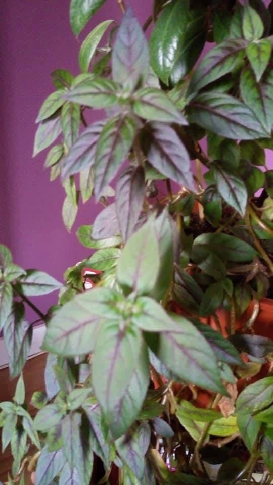 Connaissez vous cette plante ???? Plte_s10
