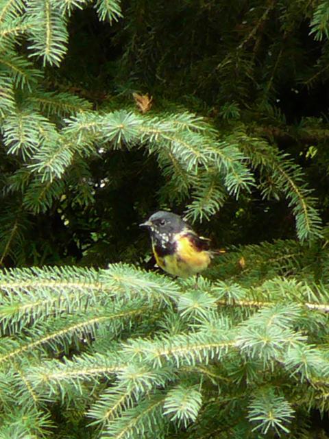 oiseaux à identifier P1130212