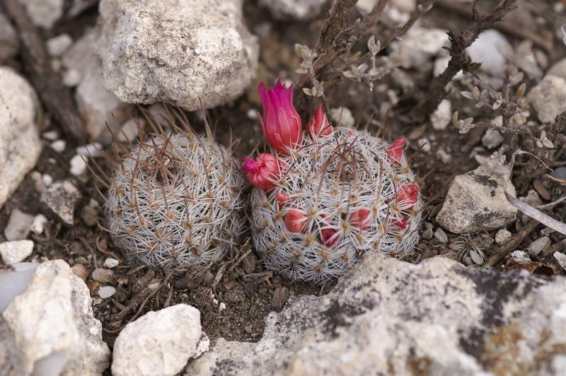 Mammillaria... 090-pi10