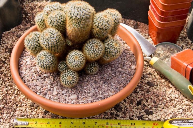 """Mammillaria columbiana """"bogotensis"""" Dsc02310"""