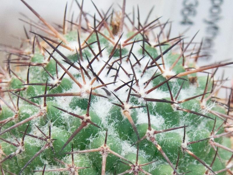 mammillaria polythele ssp obconella Dsc03213