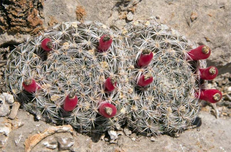 Unidentified Mammillaria from San Luis Potosi, Mexico Heyder10