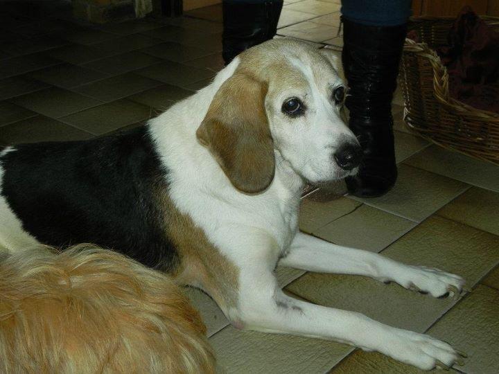 PATTO, croisé beagle mâle,  10 ans (25) 42810110