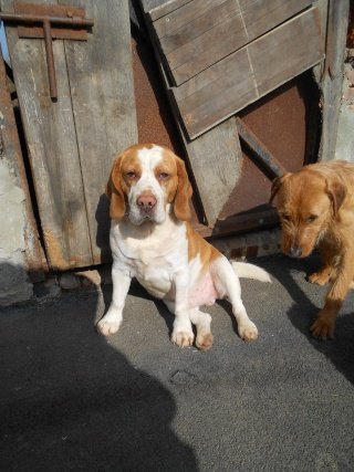 DIOUCK, beagle mâle, 3 ans (59) Dscn0411