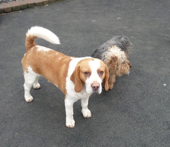 DIOUCK, beagle mâle, 3 ans (59) Fop11010