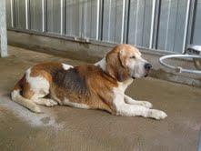 TICOEUR, croisé beagle/basset hound mâle, 13 ans (79) Vieux_10