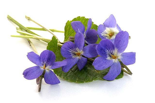 rêve 2..la violette Violet10