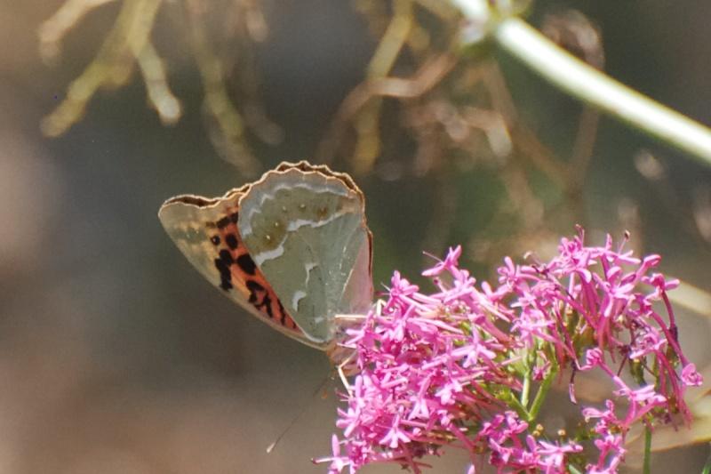 [Argynnis pandora]'(Nymphalidae heliconiinae) or not tortue? Papi110
