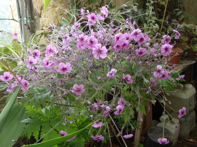floraison Geranium Maderense - Page 3 08310