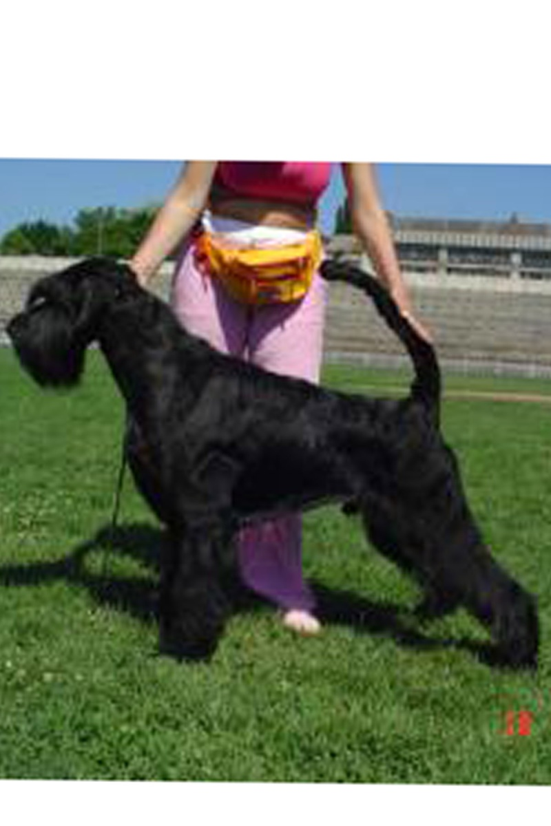 Do you own black giant male, with good temperament, good health and some show and working title witch you like to make Icelandic Champion and maybe Inter. champion?? Then please read more…. Savali10