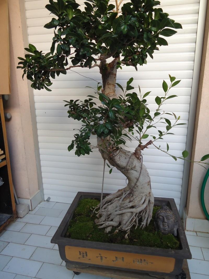 Ficus Retusa 2010_110