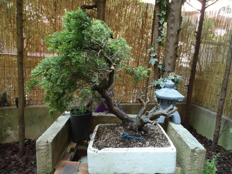 Juniperus Sabina 2011_013