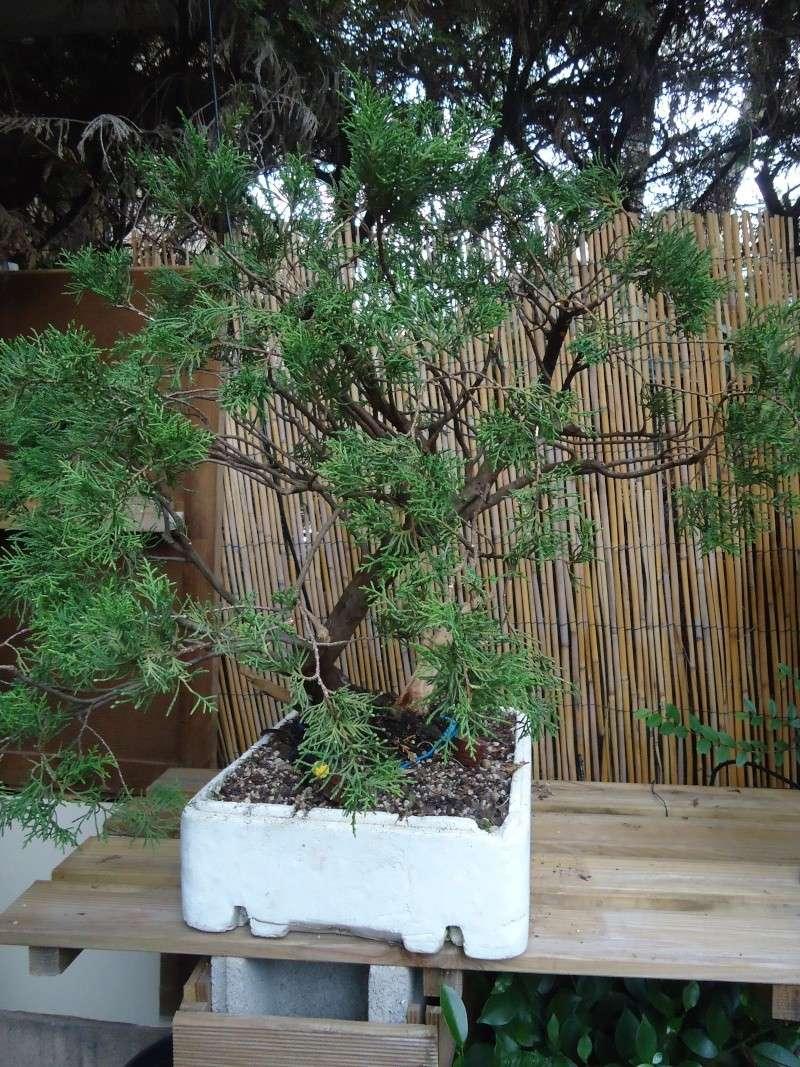 Juniperus Sabina 2011_014