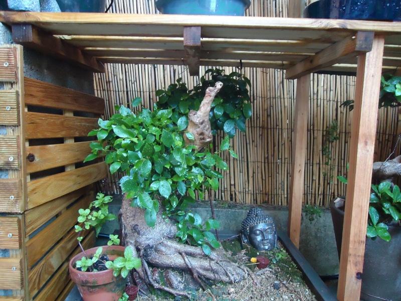 Ficus Retusa 2011_016