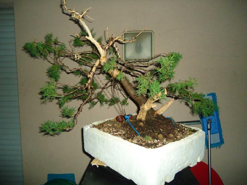 Juniperus Sabina 2011_120