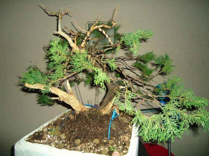 Juniperus Sabina 2011_121