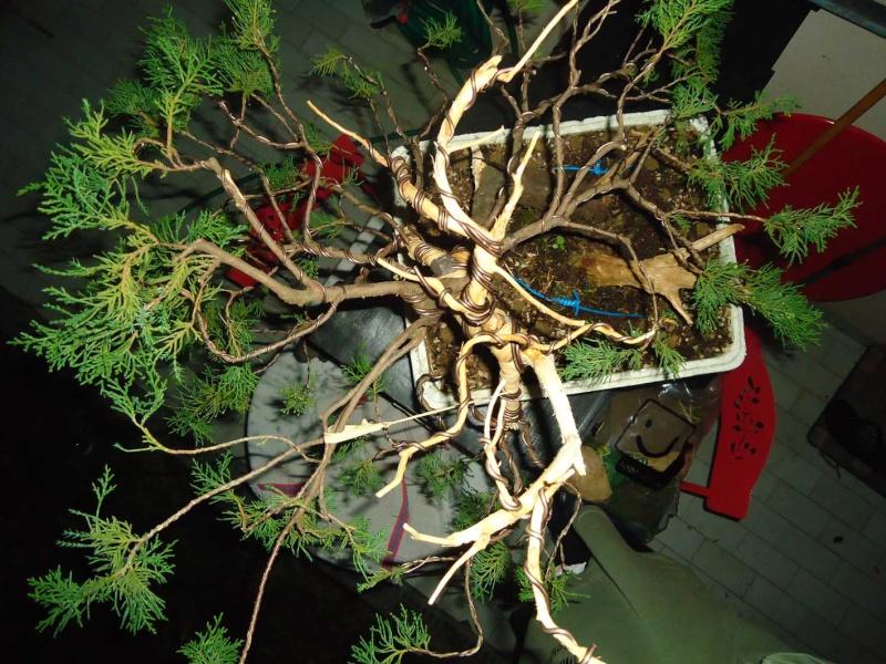 Juniperus Sabina 2011_122