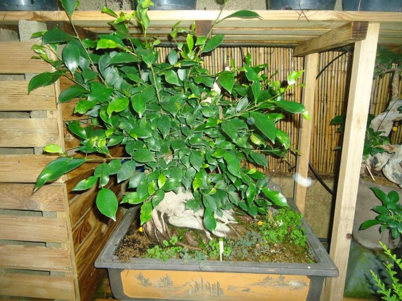 Ficus Retusa 2011_123