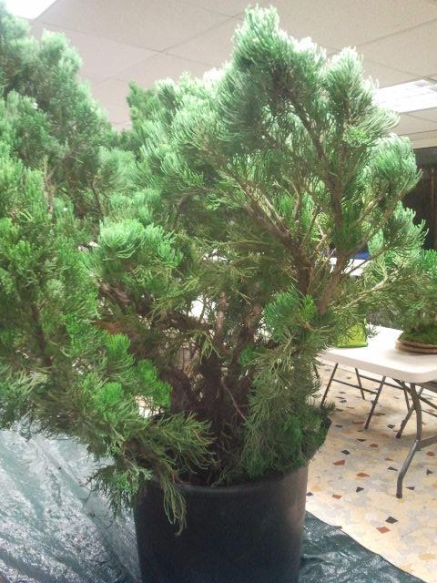 Gros Gros Juniperus 2011_125