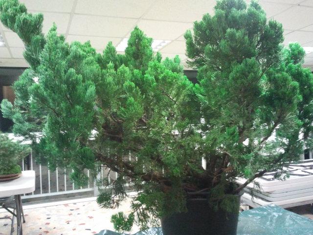 Gros Gros Juniperus 2011_126
