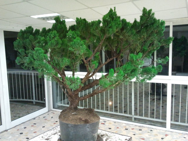 Gros Gros Juniperus 2011_127