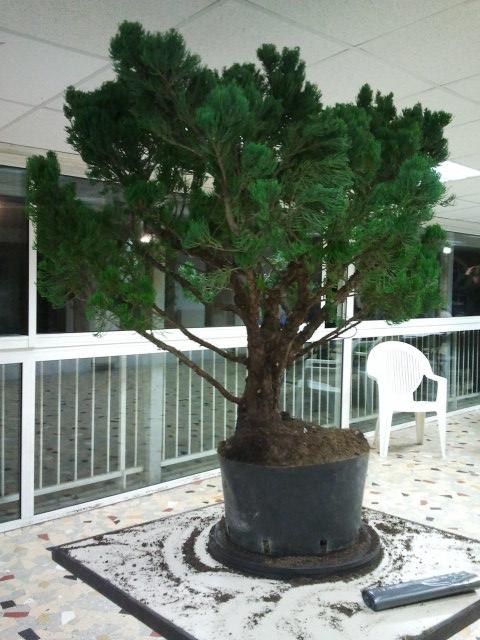 Gros Gros Juniperus 2011_128