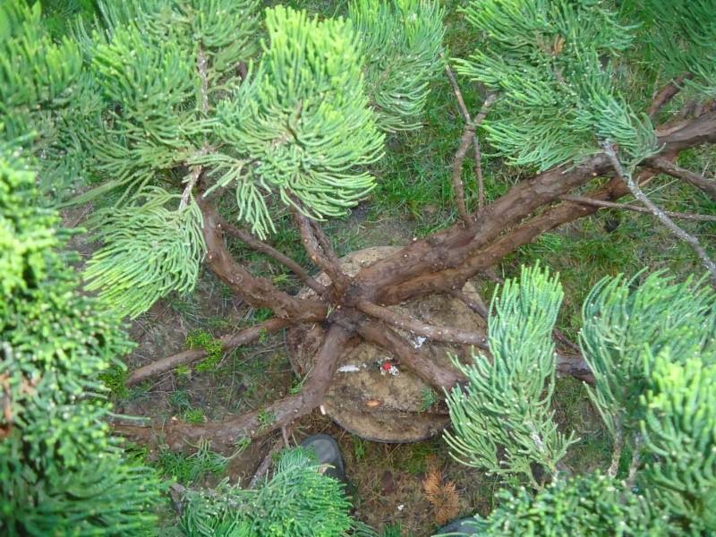 Gros Gros Juniperus 2011_129