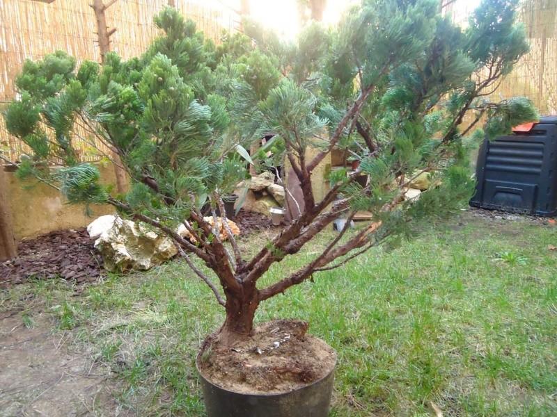 Gros Gros Juniperus 2011_130