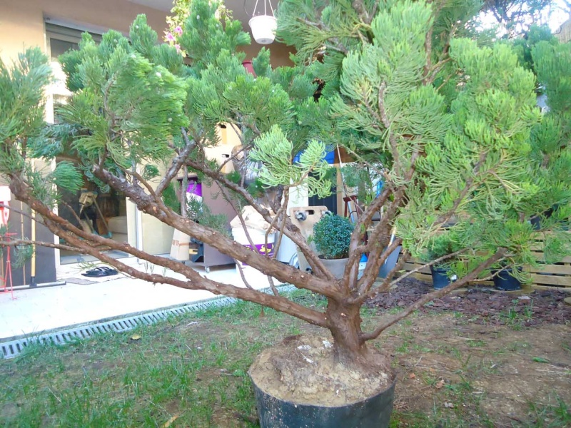 Gros Gros Juniperus 2011_131