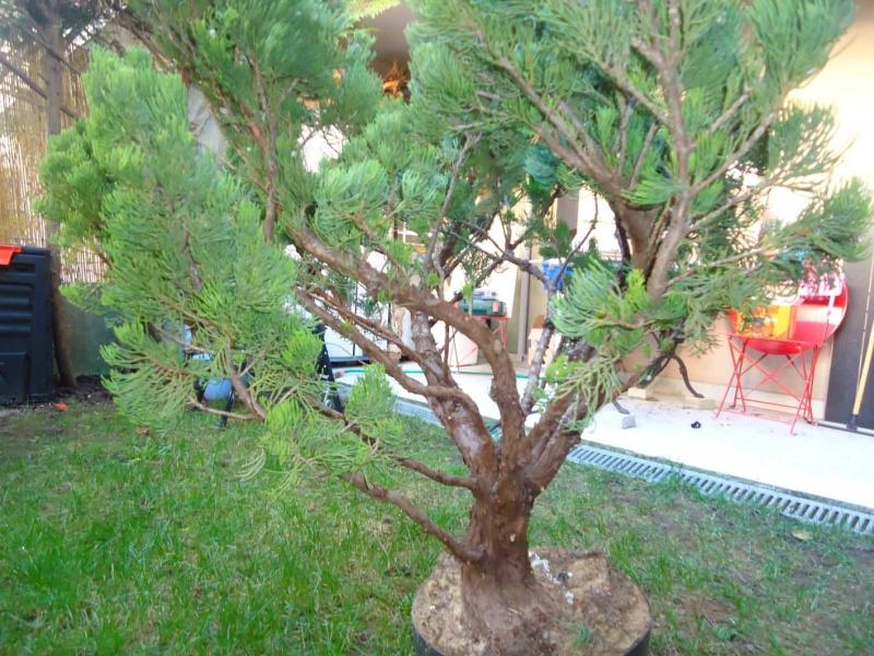 Gros Gros Juniperus 2011_132