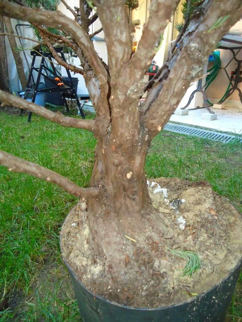 Gros Gros Juniperus 2011_133