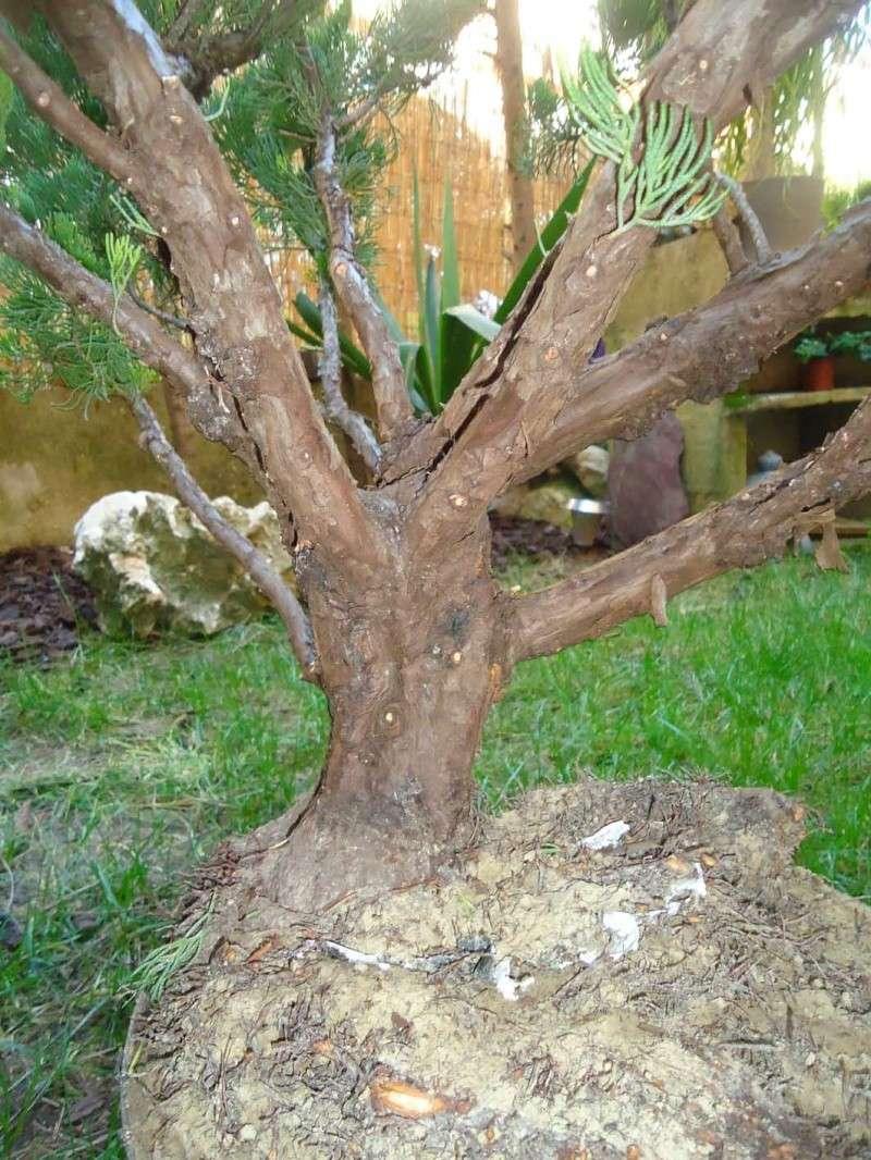Gros Gros Juniperus 2011_134
