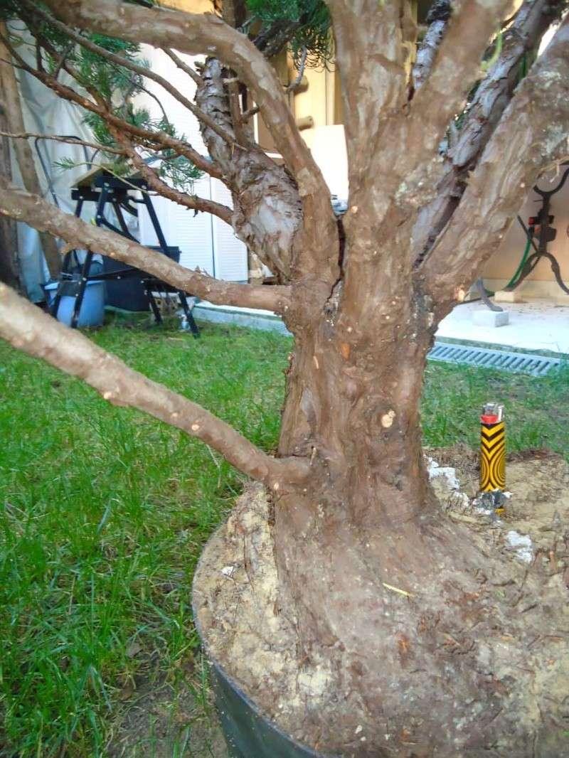 Gros Gros Juniperus 2011_136