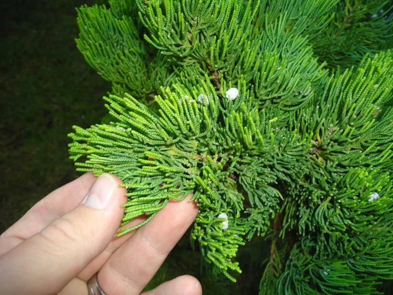 Gros Gros Juniperus 2011_137