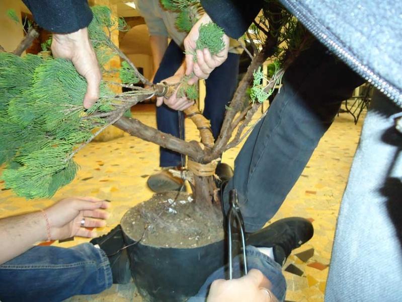 Gros Gros Juniperus 2012_023