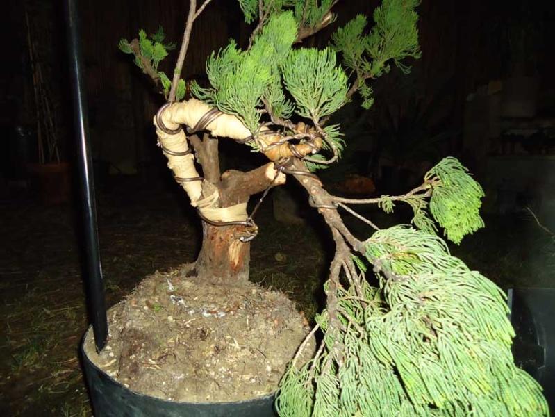 Gros Gros Juniperus 2012_035