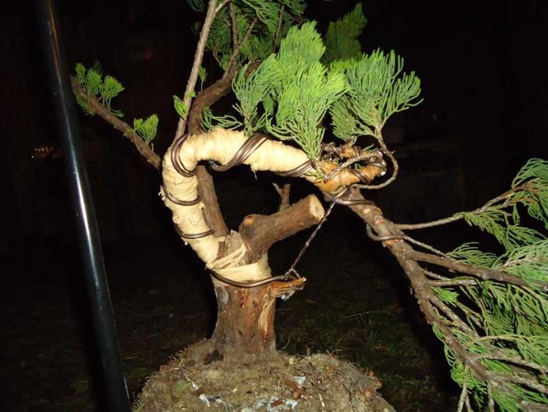 Gros Gros Juniperus 2012_037