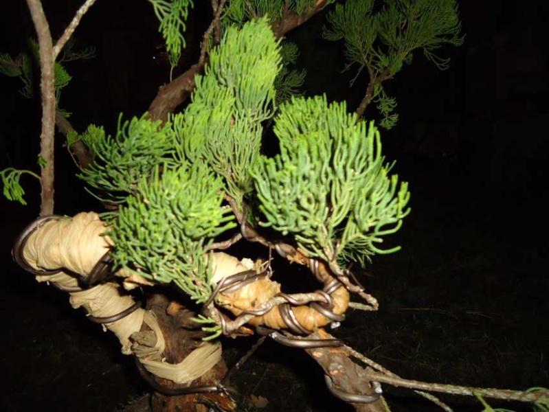 Gros Gros Juniperus 2012_038